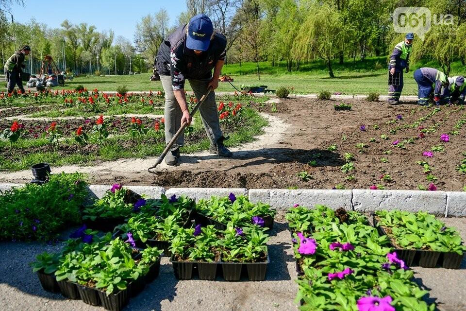 Запорожские парки готовят к майским праздникам — коммунальщики высаживают тысячи цветов, - ФОТОРЕПОРТАЖ, фото-6