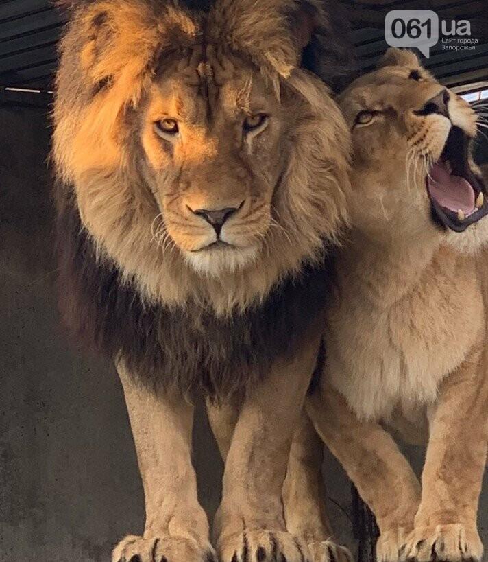 Беби-бум в зоопарках Запорожской области: родились львята, тамарины и детеныш ламы, - ФОТО, ВИДЕО, фото-1