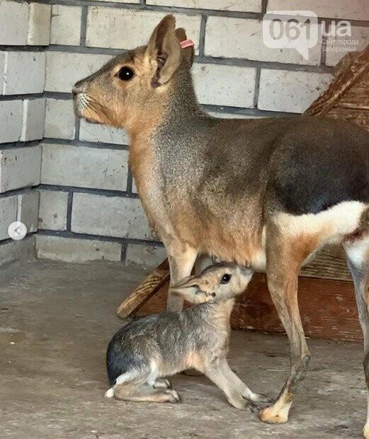 В зоопарке Бердянска пополнение в семействе лам, а в Мелитополе родился детеныш патагонской мары, - ФОТО, ВИДЕО , фото-1