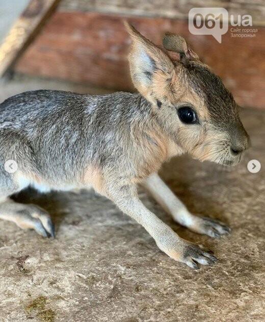 В зоопарке Бердянска пополнение в семействе лам, а в Мелитополе родился детеныш патагонской мары, - ФОТО, ВИДЕО , фото-4