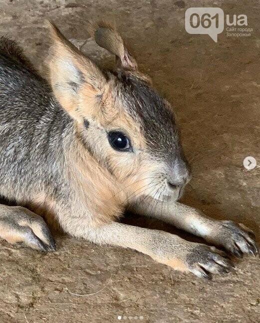 В зоопарке Бердянска пополнение в семействе лам, а в Мелитополе родился детеныш патагонской мары, - ФОТО, ВИДЕО , фото-3