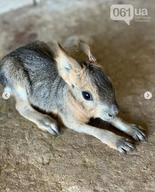 В зоопарке Бердянска пополнение в семействе лам, а в Мелитополе родился детеныш патагонской мары, - ФОТО, ВИДЕО , фото-2