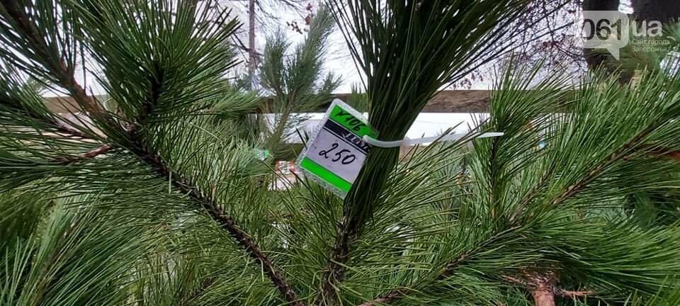 В Запорожье на елочных базарах сосны продают 100 до 1000 гривен, - ФОТО, фото-3