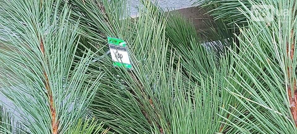 В Запорожье на елочных базарах сосны продают 100 до 1000 гривен, - ФОТО, фото-2