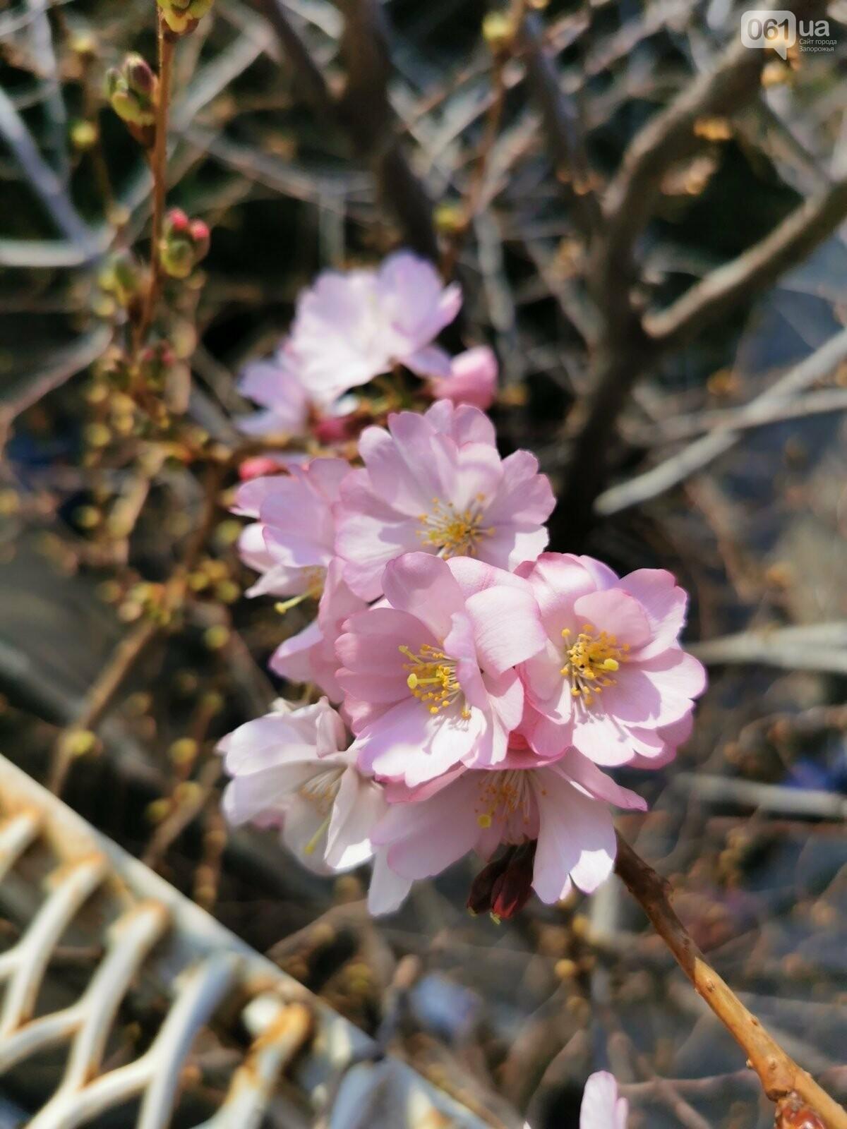 Запорожцы не могут полюбоваться цветением сакуры в ботсаду из-за усиления карантина , фото-2