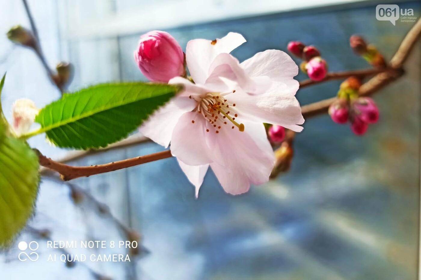 Запорожцы не могут полюбоваться цветением сакуры в ботсаду из-за усиления карантина , фото-3