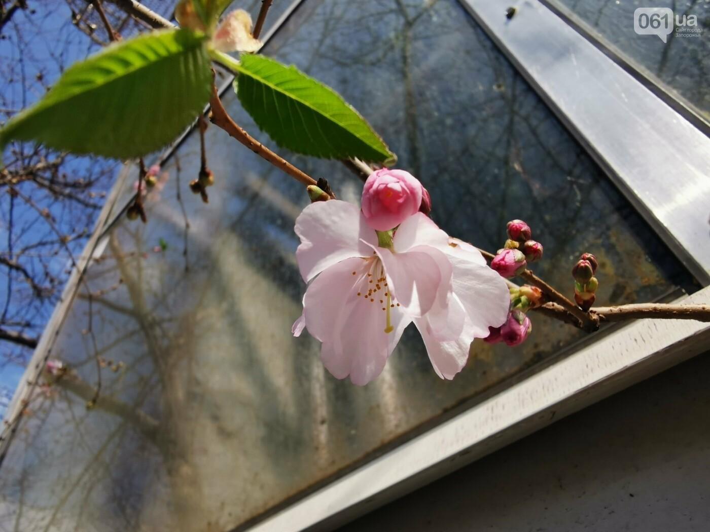 Запорожцы не могут полюбоваться цветением сакуры в ботсаду из-за усиления карантина , фото-1
