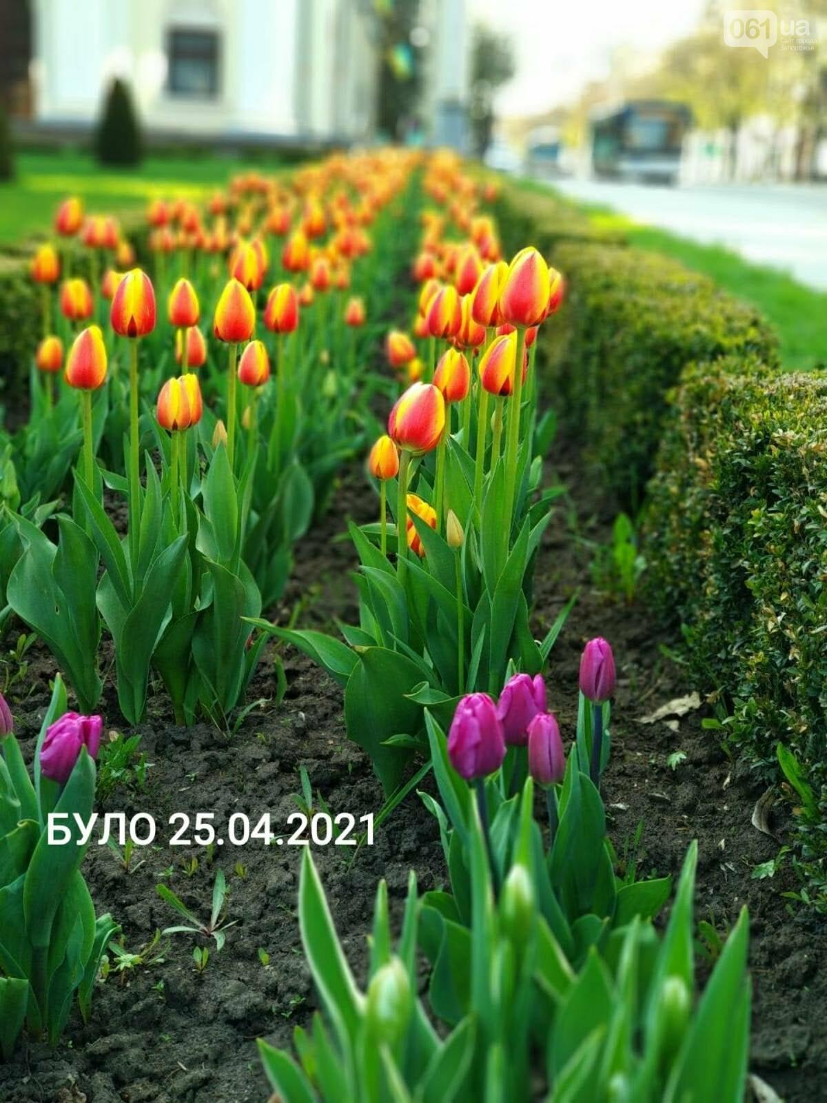 В Запорожье вандалы срезали тюльпаны с клумбы возле театра им.Магара , фото-2