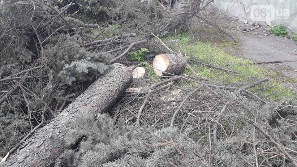В Запорожье на Маяковского незаконно срубили огромные ели, - ФОТО , фото-1