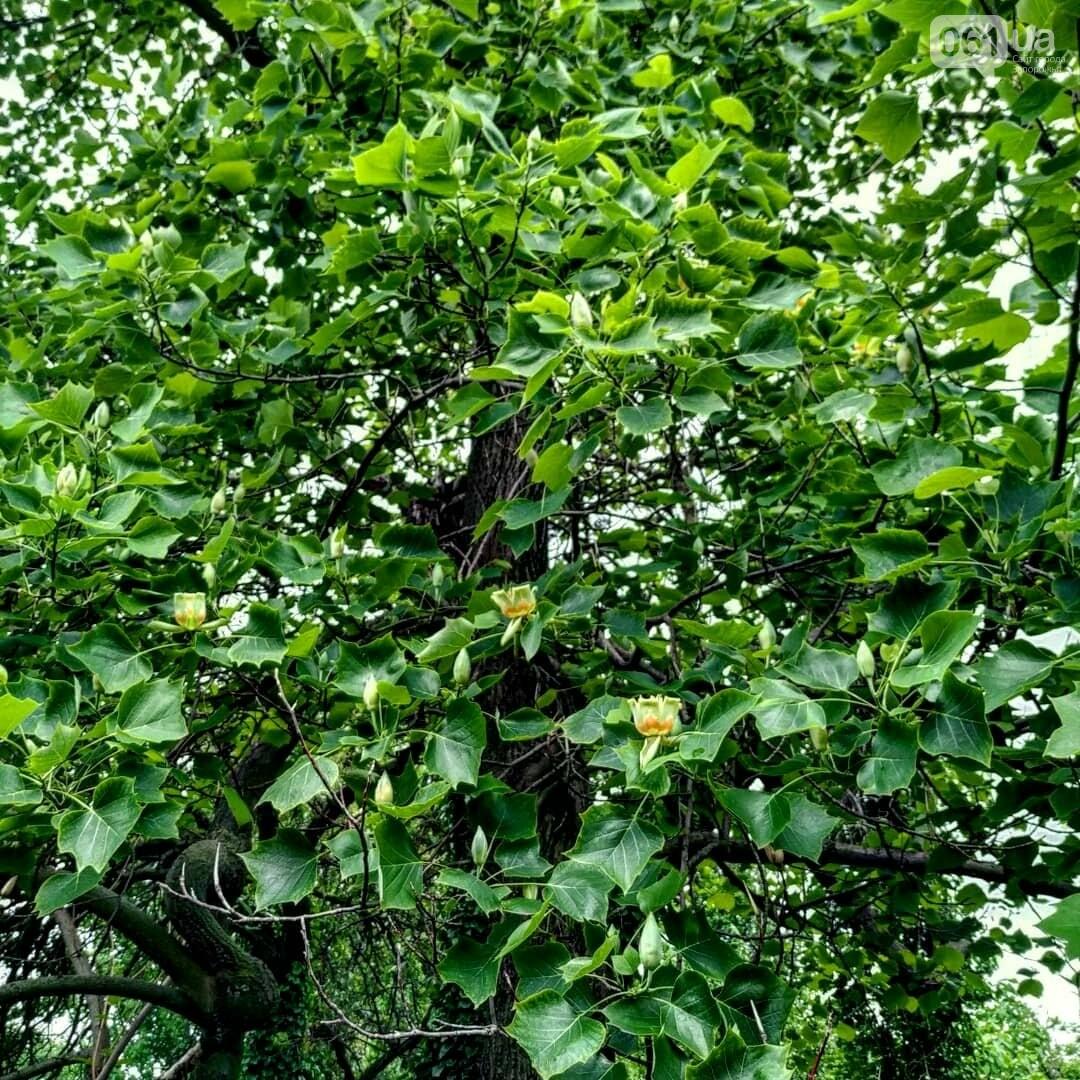 1961774723198750296047462100833379936055990n 60bb381b27ee7 - В Запорожском ботсаду зацвело тюльпановое дерево, - ФОТО