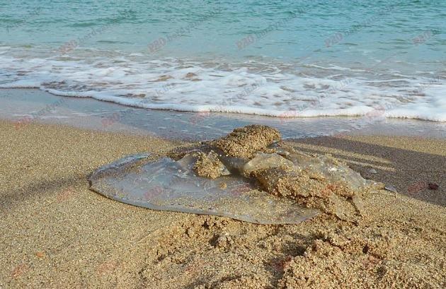 На берег Запорожского курорта выбросило 10-килограммовую медузу, - ФОТО, ВИДЕО, фото-1