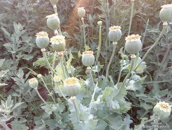 """В ходе операции """"Мак"""" полицейские изъяли более 25 000 кустов наркотических растений, - ФОТО, фото-2"""