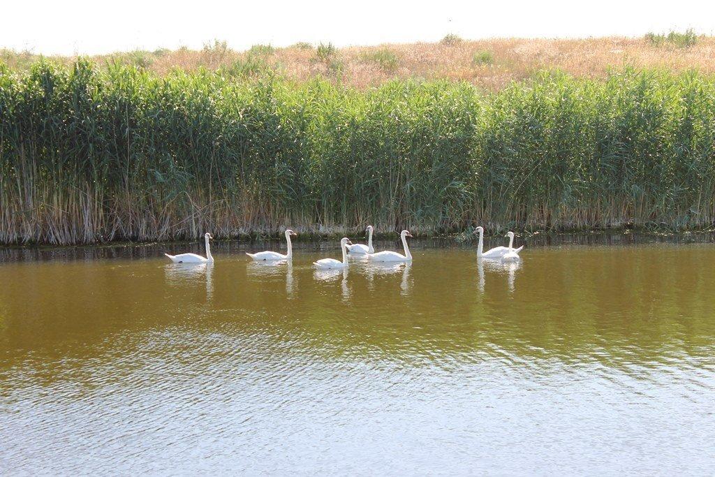 В Гуляйполе массово заселились дикие лебеди, - ФОТО, фото-4