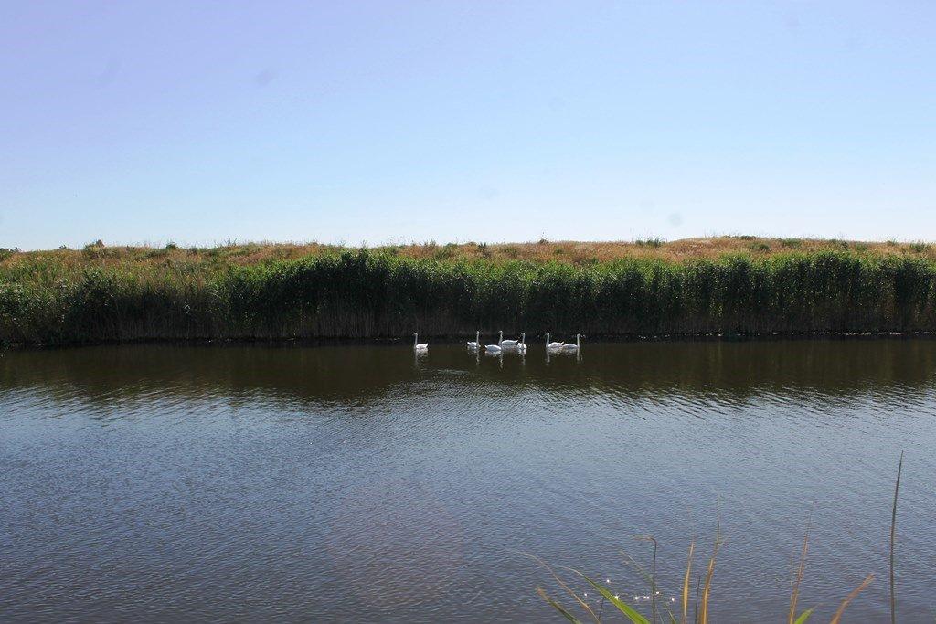В Гуляйполе массово заселились дикие лебеди, - ФОТО, фото-1