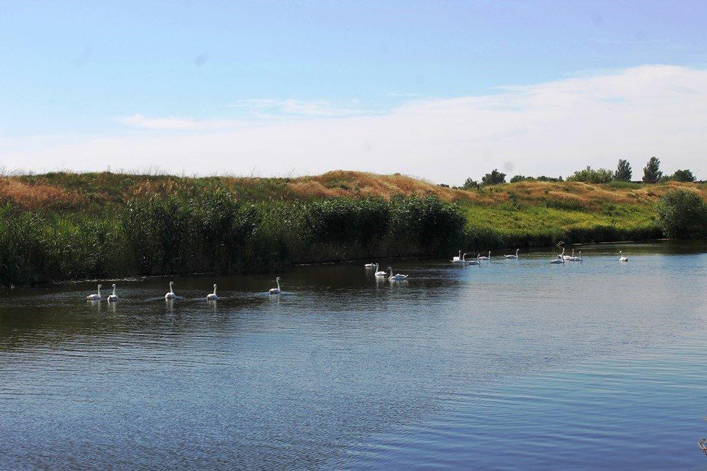 В Гуляйполе массово заселились дикие лебеди, - ФОТО, фото-2