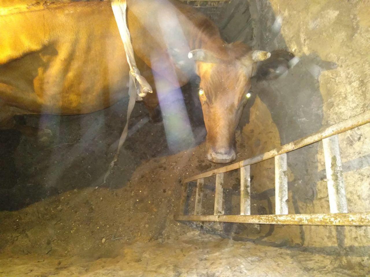 Под Запорожьем спасатели доставали из подвала корову: понадобился кран, - ФОТО, фото-2