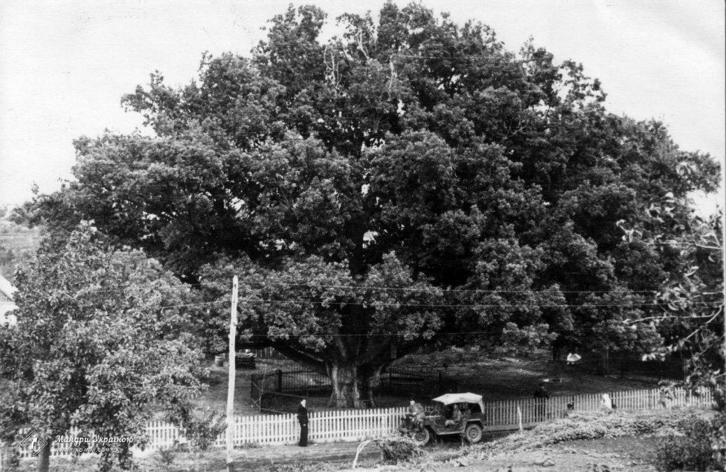 Опасен для граждан: Запорожский дуб перед сносом лишат статуса ботанической памятки, фото-3