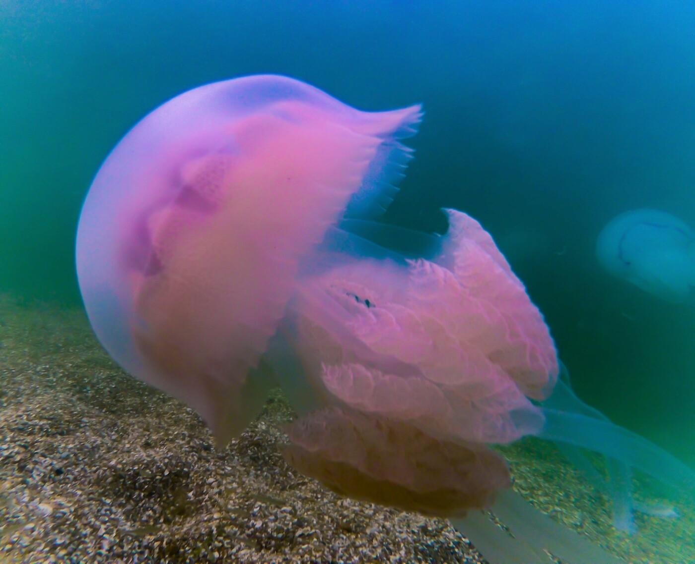 Чертовски красивы: жительница Бердянска сняла медуз под водой, - ФОТО , фото-1