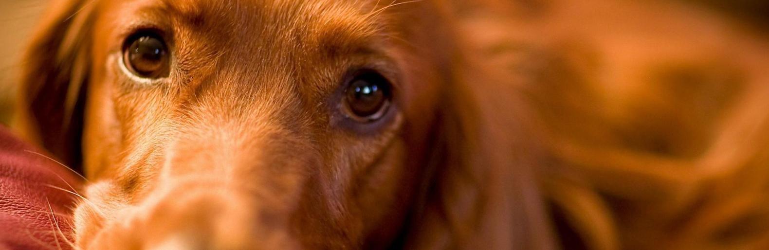 коронавирус энтерит у собак